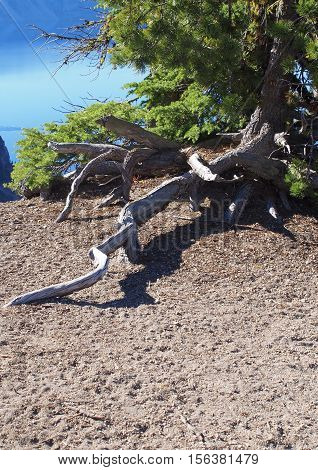 Exposed tree roots of a pine tree at the top of a cliff in Crater Lake National Park in Oregon.