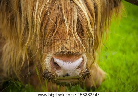Scottish Highland cattle near Fort William Scotland