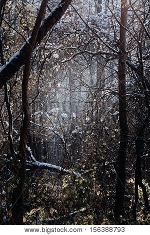 Mystical forest with impenetrable undergrowth bare trees faded foliage and tangled branches in winter