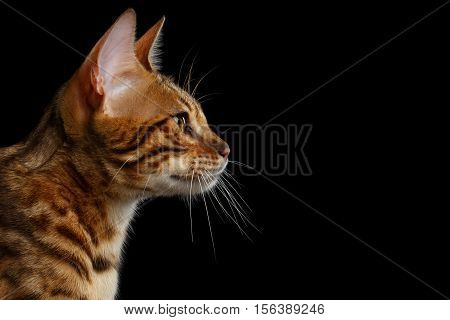 Close-up Portrait of Adorable breed Bengal kitten in profile view, isolated on Black Background