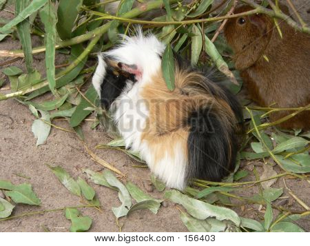 long haired guinea pig poster