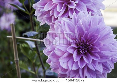 Close up of a vibrant pink and mauve Dahlia,, foliage in the background shot in Montreal, Quebec, on a slightly overcast but bright day in October.