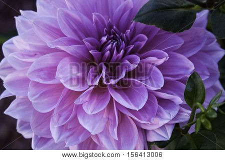 Close up of a single vibrant pink and mauve Dahlia, foliage in the background shot in Montreal, Quebec on a slightly overcast but bright day in October.