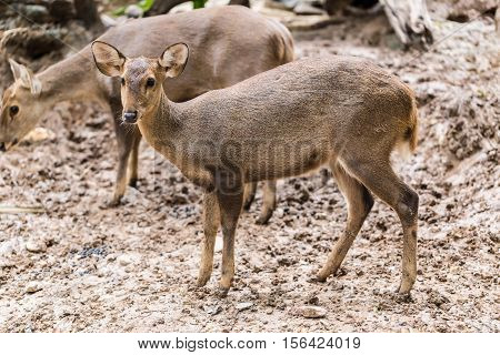 Indian Hog Deer In Head Close Up Shot