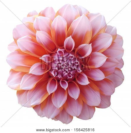 Dahlia red orange flower variegated flower white background isolated with clipping path. Closeup. with no shadows. for design.
