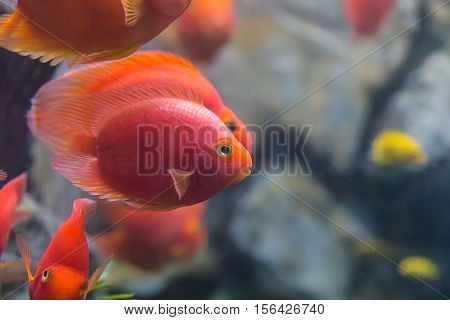 Love Heart Blood Parrot Cichild Fish