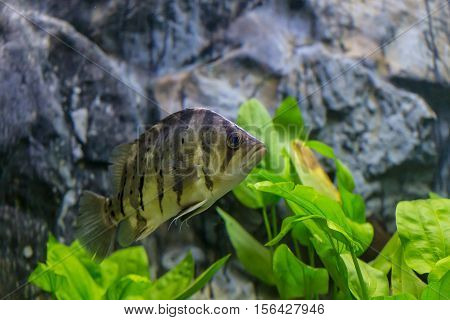 Malawi Cichlid Fish  In Aquarium