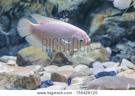 White Albino Giant Gourami Fish In A  Aquarium