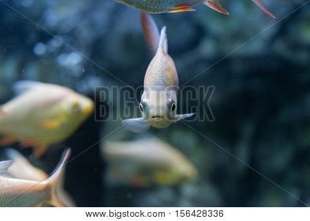 Red-tail Tinfoil Barb fish in aquarium., Thailand