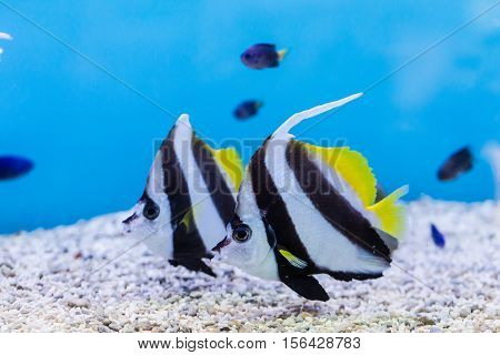 Bannerfish (heniochus Acuminatus) In Aquarium