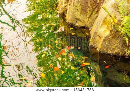 Koi in Garden with reflection  Autumn Red  Leaf