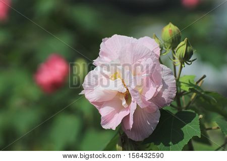 Hibiscus Mutabilis Or Confederate Rose