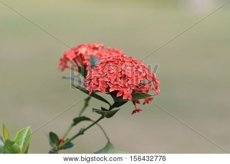 Ixora Chinensis Lam In Full Bloom