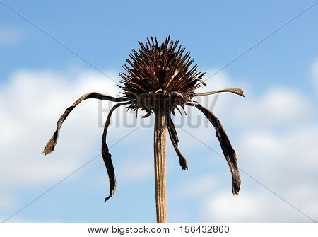 Dry inflorescence of Echinacea on a background of blue sky with clouds
