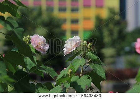 The Confederate Rose ; Hibiscus Mutabilis