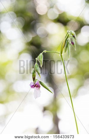 Thalia Geniculata Flower With Bokeh Background