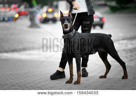 Doberman dog with its owner outdoors