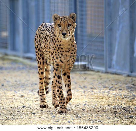 Cheetah  brown coat with black spots feline