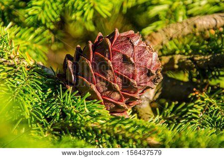 on coniferous tree big shot. cedar bump