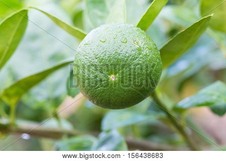 Green Lemons Hanging On Tree