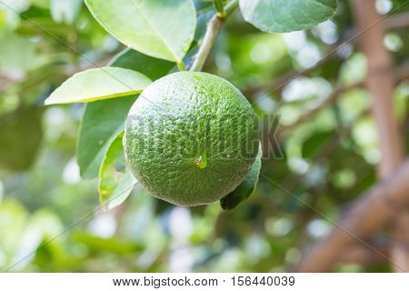 Green lemons hanging on tree in the farm