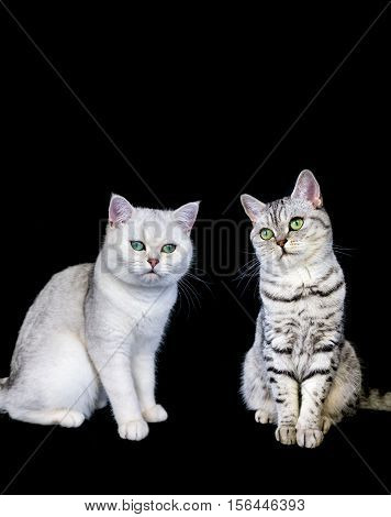 Two british short hair black silver tabby and shaded cat on black background