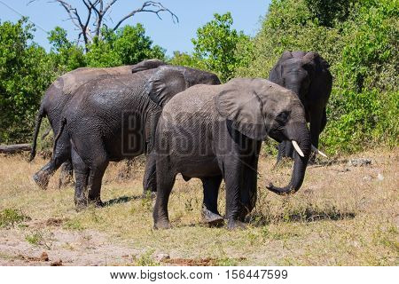 Large herd of African elephants at the watering. River Okavango. Botswana, Chobe National Park. The concept of exotic and active tourism