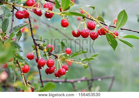 Cherries with drops on cherry-tree in orchard.