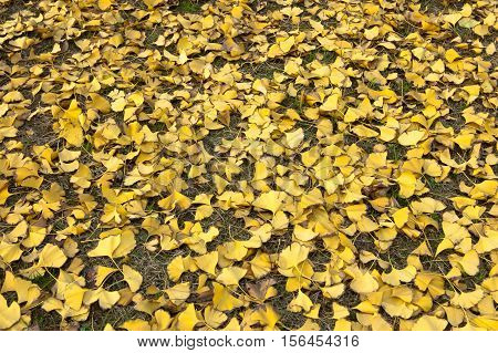 Montreal's autumn foliage on the floor of the golden ginkgo tree.
