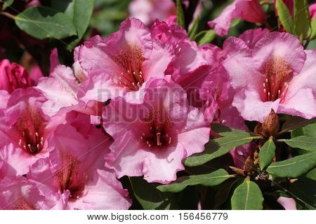 Rhododendrons / The rhododendrons are a genus of the family Ericaceae