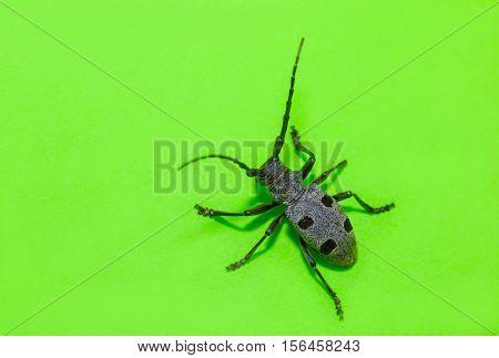 black beetle Rosalia Alpina on green background