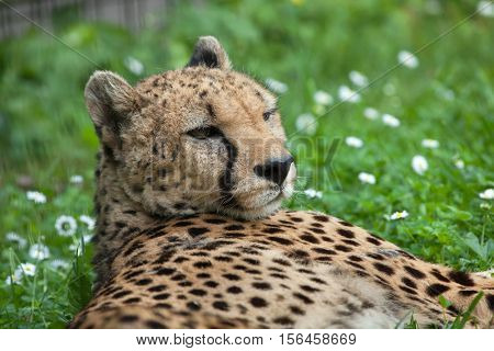 Cheetah (Acinonyx jubatus). Wildlife animal.