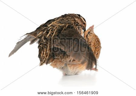 the reproduction quails on a white background