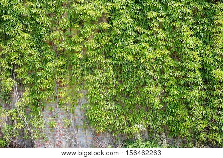 Green leaves wall background - stonewall .