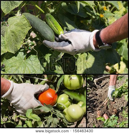 Collage Of Ripe Vegetable In Garden