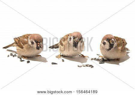 Three Sparrows isolated on white, studio shot