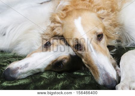 portraits of two large Borzoi sight-hounds