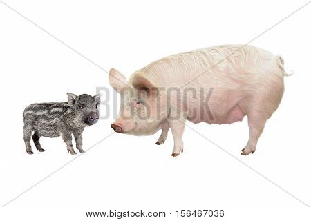 Pig and piglet  isolated on a white background