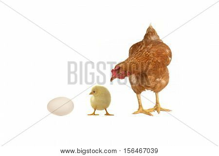 Hen, chicken and egg on a white background