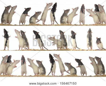 rats on white background - collection , studio shot