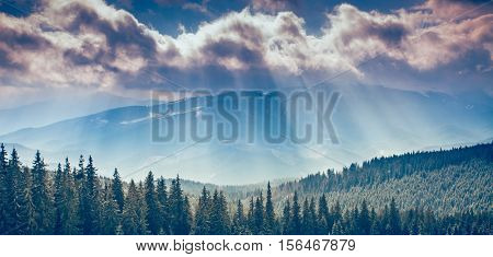 Majestic pine tree forest at mountain valley. Dramatic and picturesque morning scene. Carpathians, Ukraine, Europe. Beauty worldmountain landscape on the cloudy sky background with sun beams