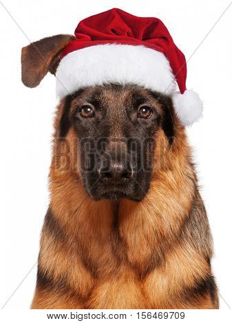 Portrait of German Shepherd puppy, 5 months old in red Christmas Santa hat. Cute dog dressed as Santa Claus looking at camera. Christmas doggy, isolated on white background.