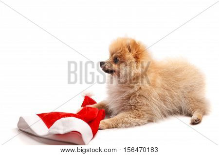 Small German Spitz puppy with a cap of Santa Claus isolated on white background