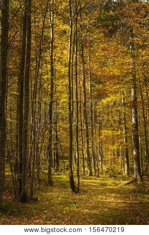 Birch Forrest In Colorful Autumn Light, Logarska Dolina, Slovenija