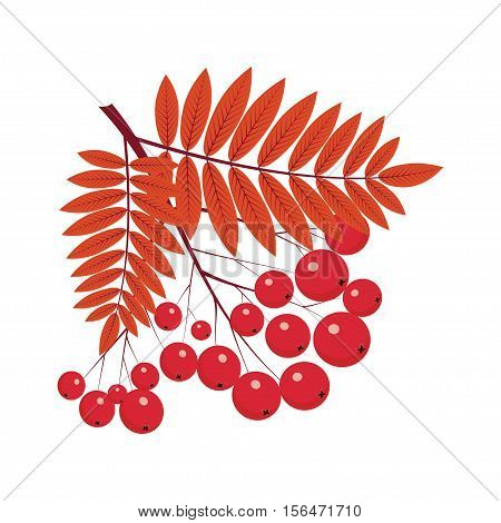 rowan bunch, rowan composition, rowan leaves, rowan berries, rowan Isolated on white background, bunch of juicy rowan berries.