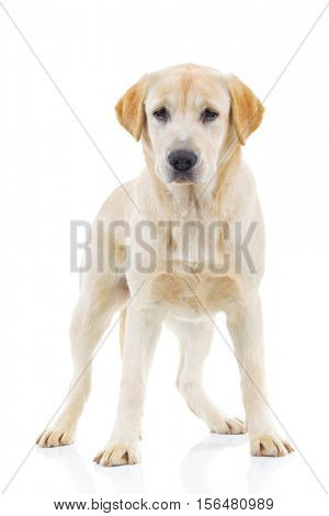 full body picture of a labrador retriever dog standing up on white background
