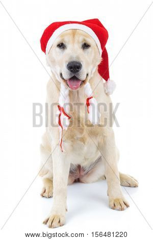 panting santa claus labrador retriever dor sitting on white background in studio