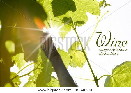 green wine leaves and sun rays