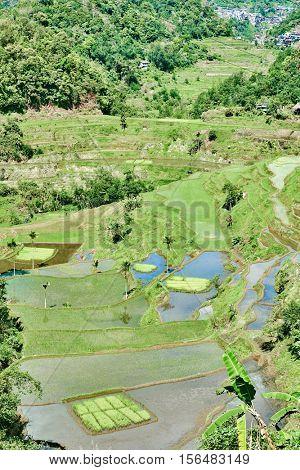 banaue batad rice paddy terrace fields