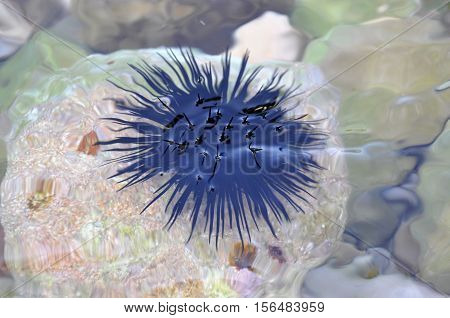 Black urchin just below the surface of sea water